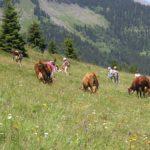 Gens dans un champs fleuri savoyard qui font de la botanique au milieu des vaches.